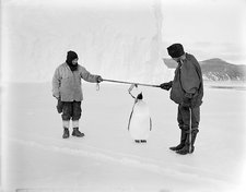 Penguin research in Antarctica, 1911