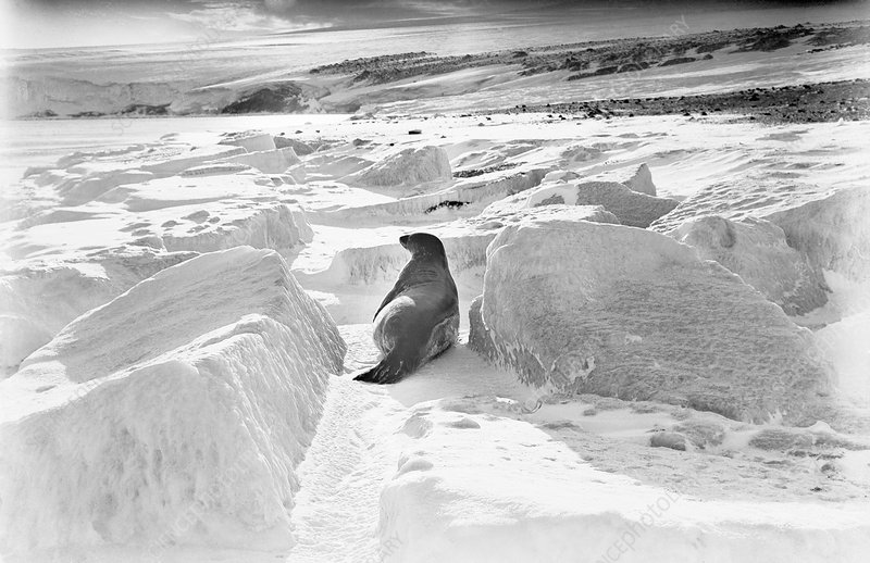 Weddell seal in Antarctica, 1911