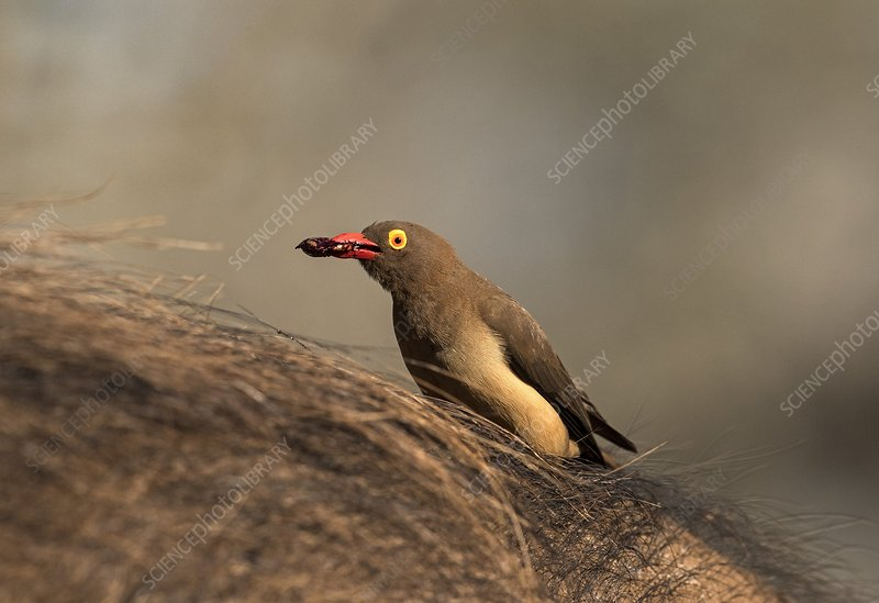Red-billed Ox-pecker with tick in bill