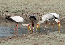 Yellow-billed storks foraging together