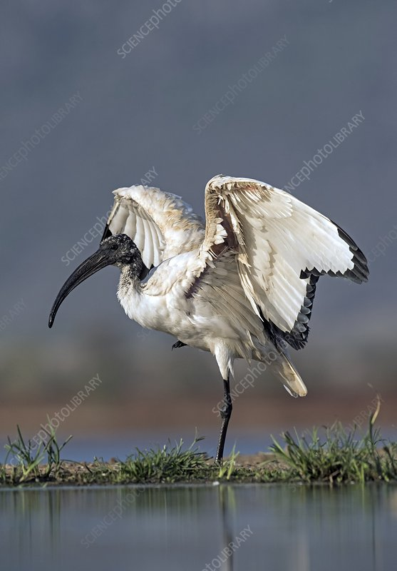 Sacred Ibis stretching its wings