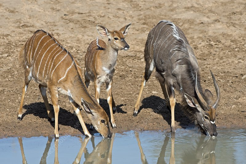 Female, fawn and male Nyala drinking