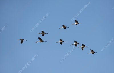 Yellow-billed storks in V formation