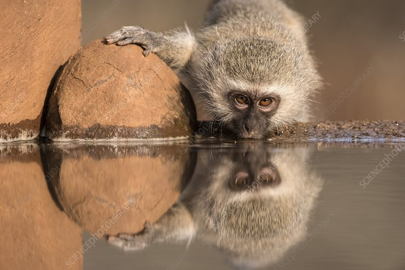 Vervet monkey drinking at a watering hole
