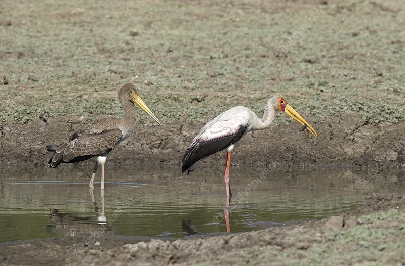 Yellow-billed stork juvenile with adult