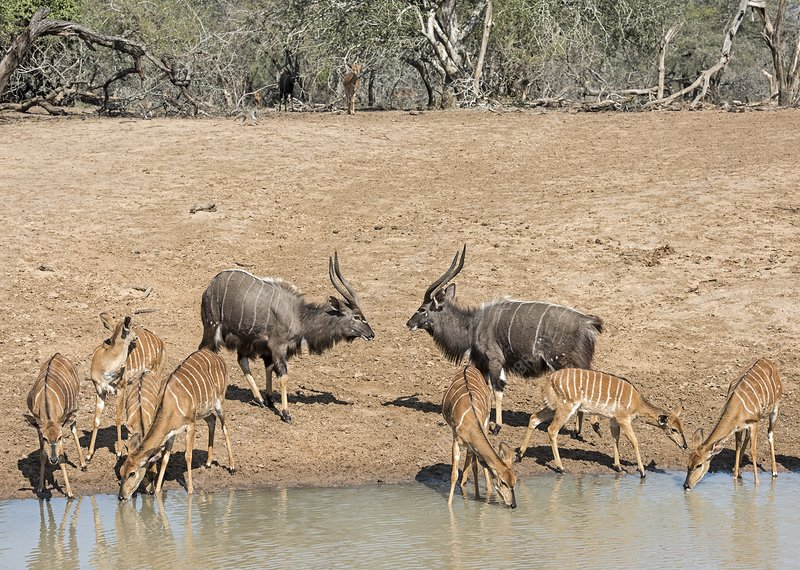 Nyala males in confrontation