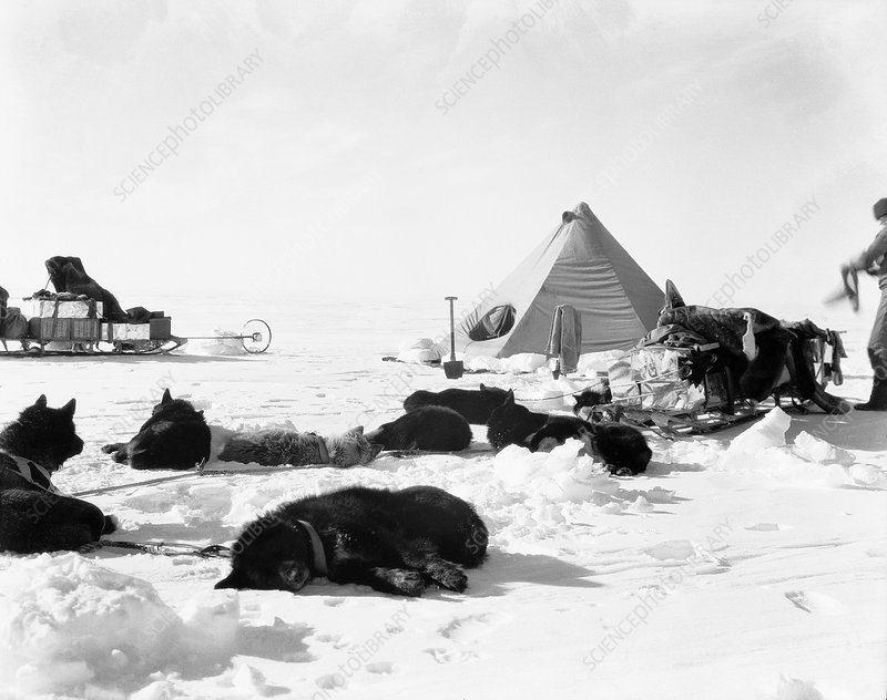 Antarctic sled dogs, 1910s