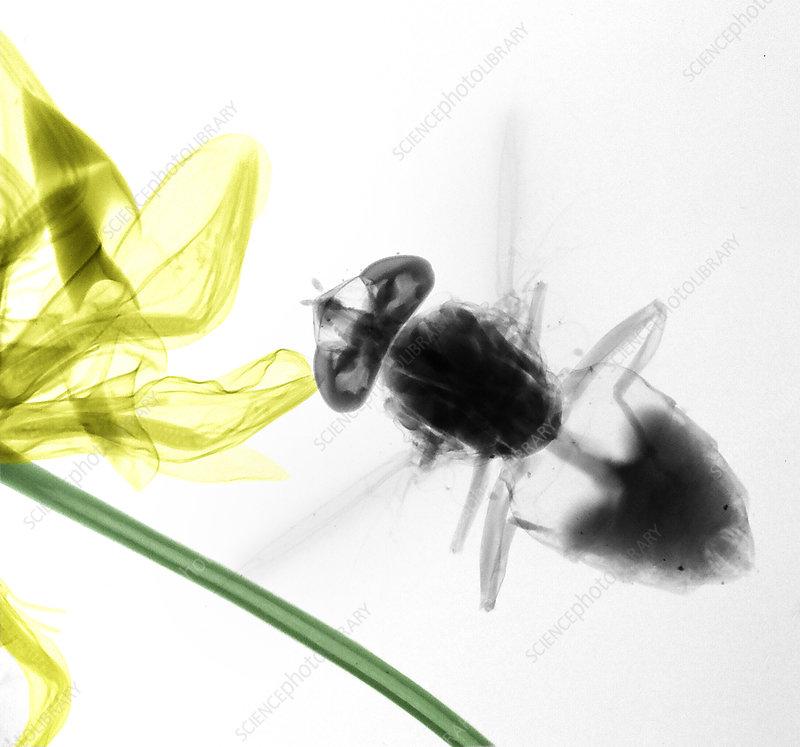 Horse fly, X-ray