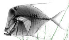 Lookdown fish, X-ray