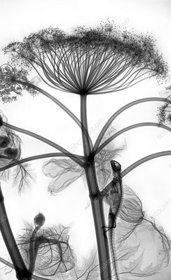Giant hogweed and iguana, X-ray