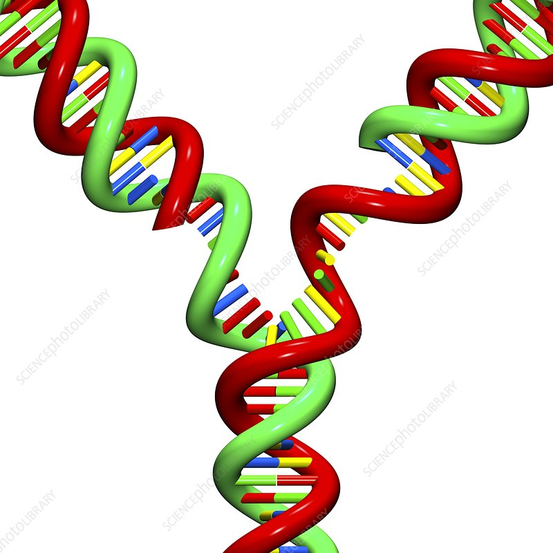 DNA replication, illustration