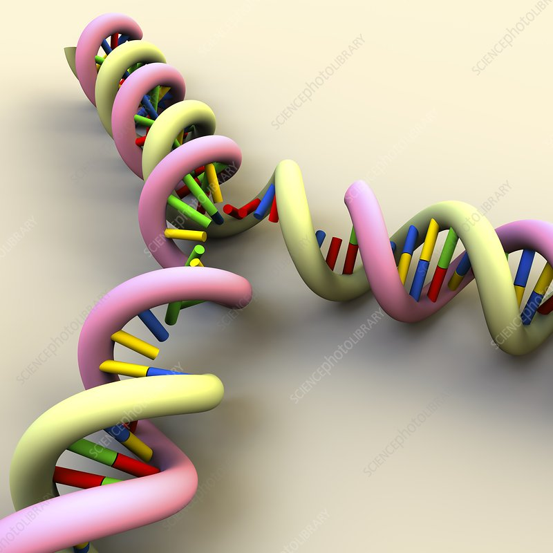 DNA replication, illustration