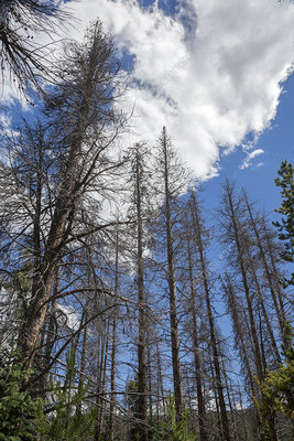 Trees killed by pine beetle outbreak