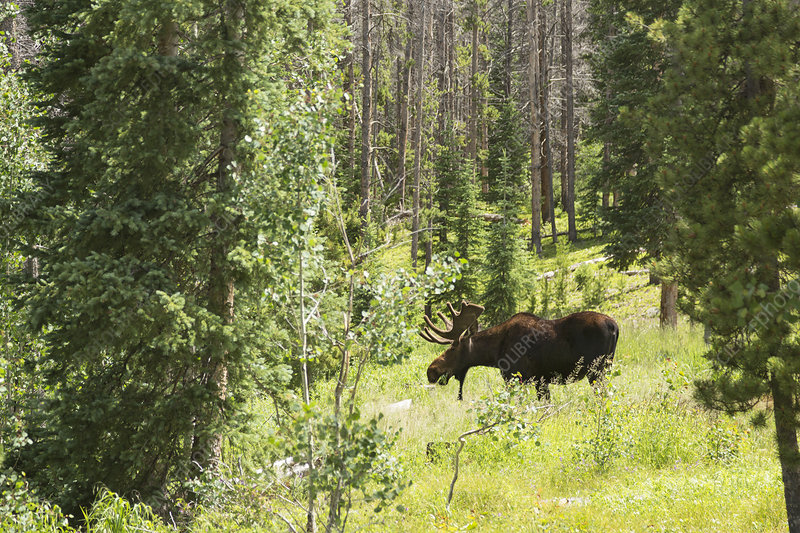 Bull moose grazing in mountain forest