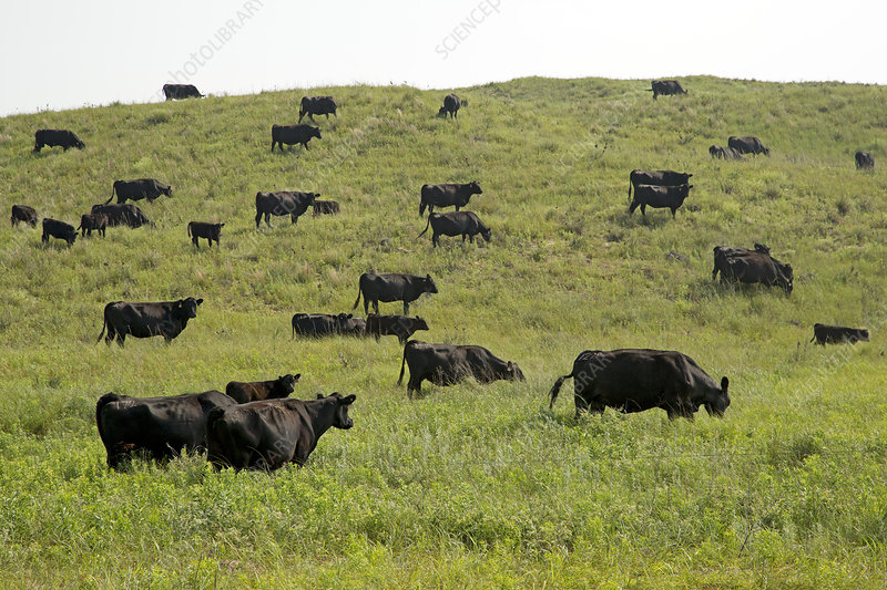 Cattle grazing on a sandy prairie