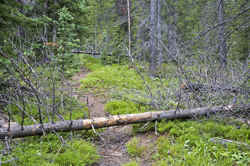 Dead pine trees blocking a hiking trail