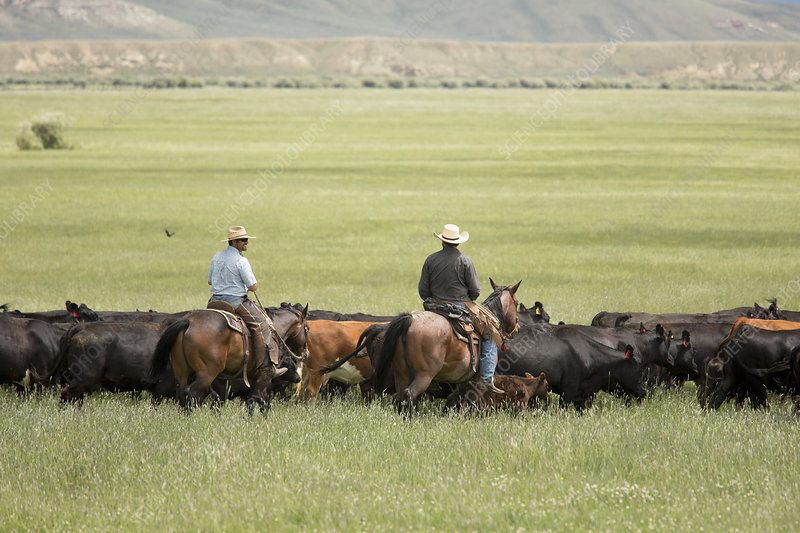 Cowboys herding on a cattle ranch