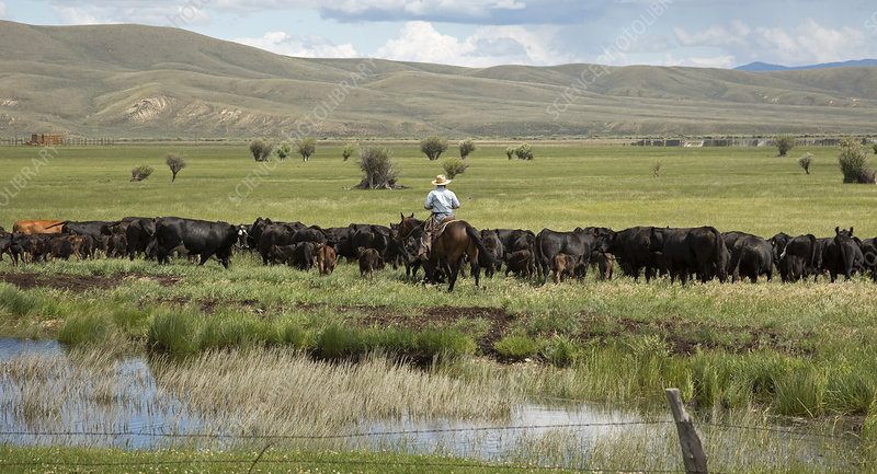 Cowboy herding on a cattle ranch