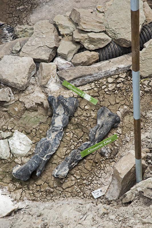 Allosaurus dinosaur leg bone fossils