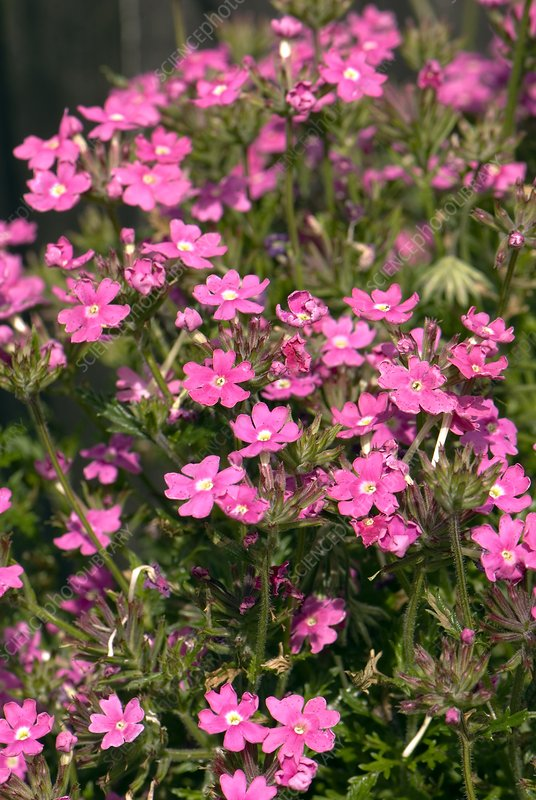 Verbena 'Dark Pink Magic'