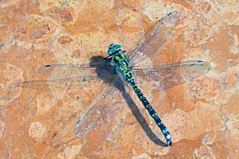 Dragonfly, Migrant Hawker