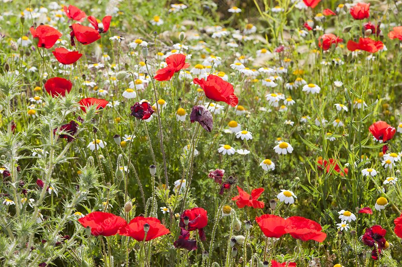 Poppies and other wild flowers
