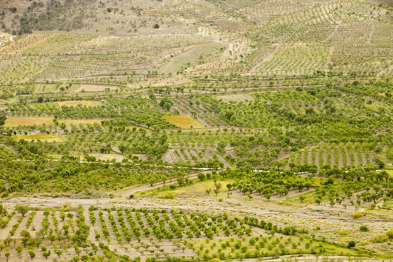 Olive tree and orchard groves, Spain