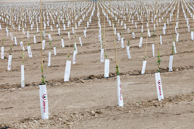 Newly planted Olive tree grove, Spain