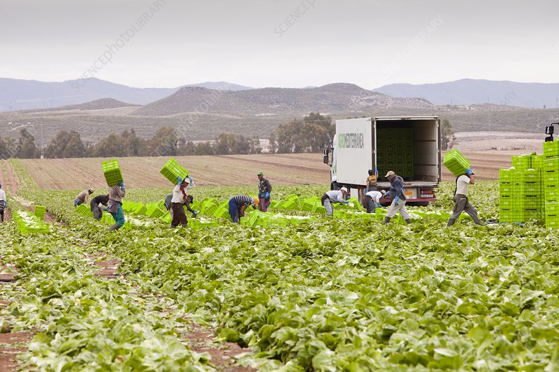 Lettuce crops being harvested