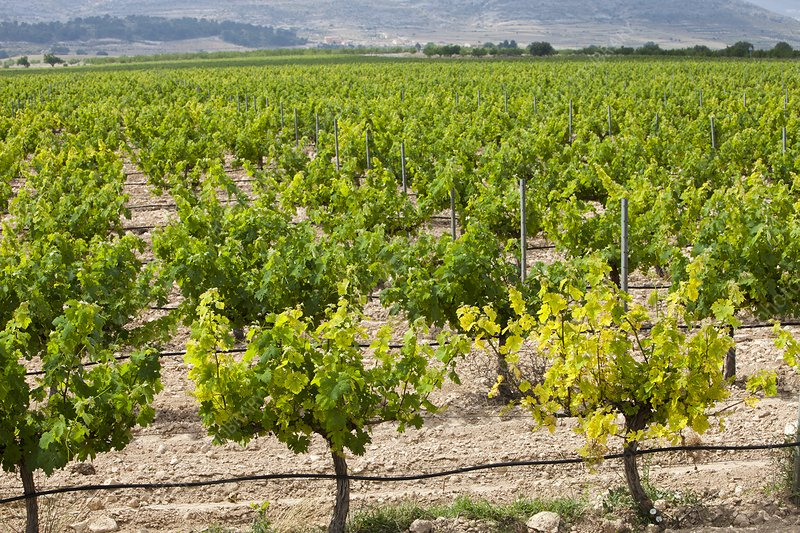 A vineyard near Jumilla, Spain