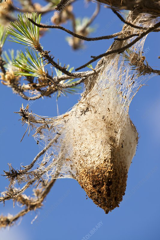 Nests of Pine Processionary Caterpillar