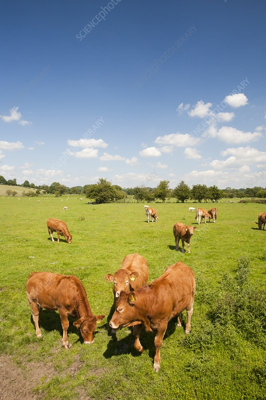Beef cattle in Grindleton, UK