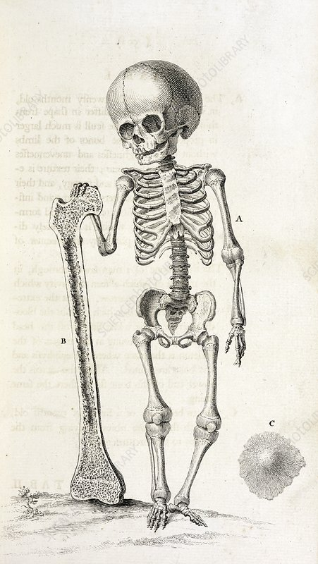 b0a36e397b Child skeleton, 18th century - Stock Image - C026/8257 - Science ...