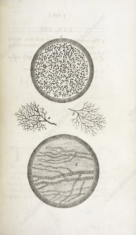 Sperm and blood microscopy, 18th century