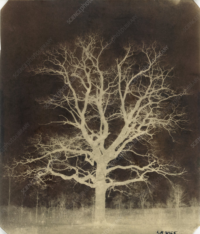 Oak tree, 1840s calotype negative