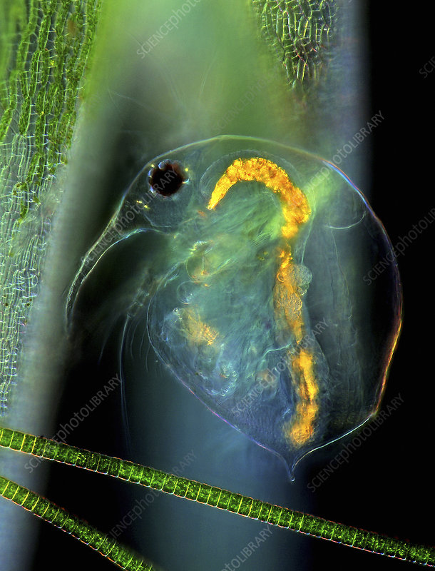 Water flea and desmid on sphagnum moss