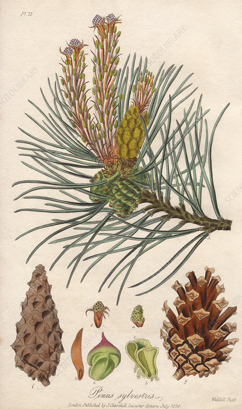 Scots pine, 19th century illustration