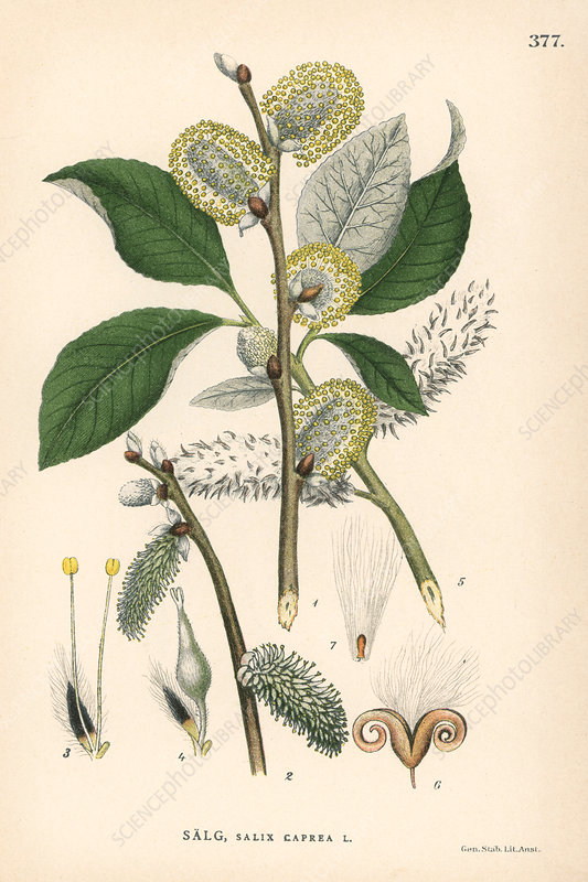 Goat willow tree, illustration