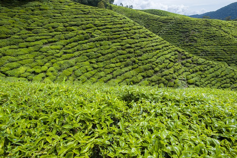 Tea plantations in the Cameron Highlands