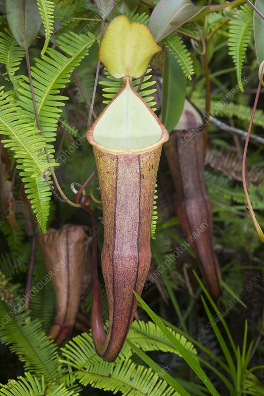 A Pitcher plant in Malaysia