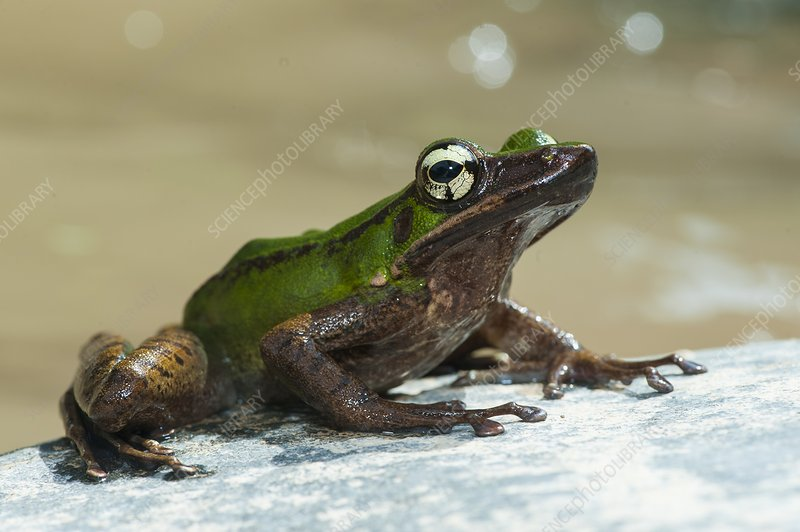 Frog by stream in Malaysia