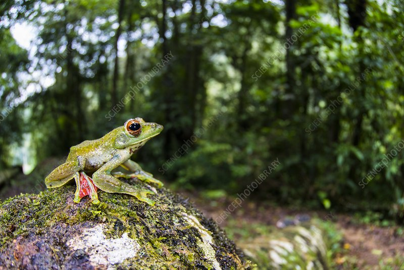 A Malayan flying frog