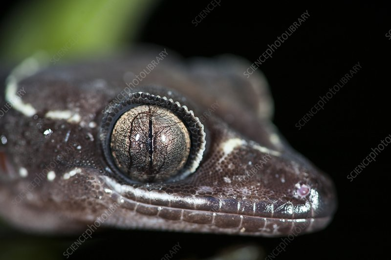 The eye of a Malay banded gecko