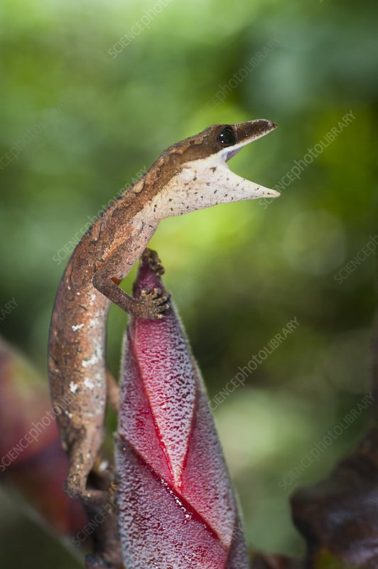 A gecko on wild ginger