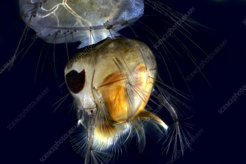 Mosquito larva, light micrograph