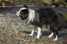 Border collie shaking dry after swimming