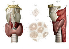Voice box and thyroid, illustration