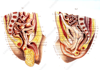 Newborn male & female reproductive organs