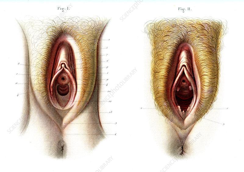Virgin and non-virgin vulva anatomy