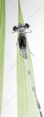 Damselfly on a blade of grass, X-ray